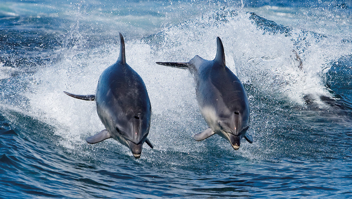 Dolphins sighted near Bruny Island